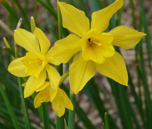 Produktbild Narcissus x odorus - Campernell-Jonquille