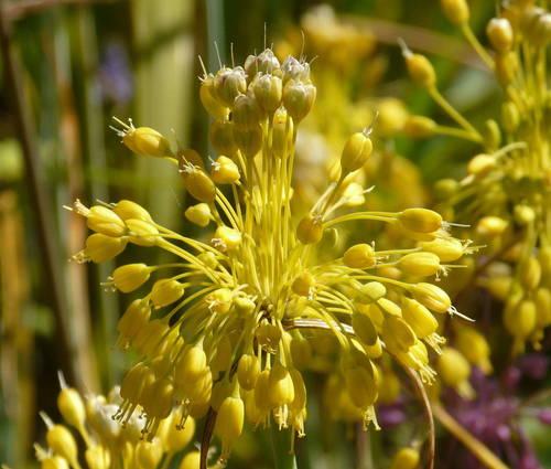 Produktbild Allium flavum - Gelber Lauch