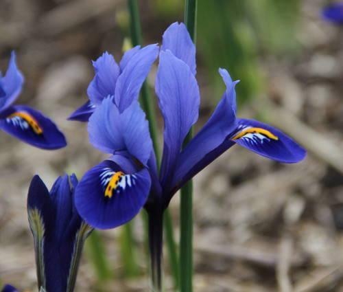 Produktbild Iris reticulata 'Harmony' - Zwerg-Iris, Zwiebel-Iris