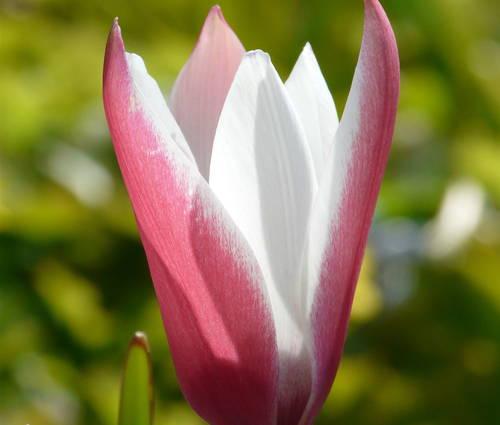 Produktbild Tulipa clusiana 'Peppermint Stick' - Damen-Tulpe