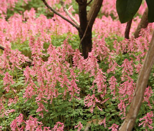 Produktbild Corydalis solida ssp solida 'Beth Evans' - Gefingerter Lerchensporn