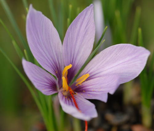 Produktbild Crocus sativus - Safran-Krokus