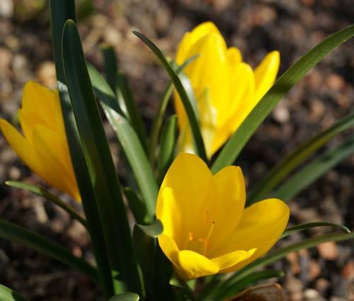 Produktbild Sternbergia lutea - Goldkrokus