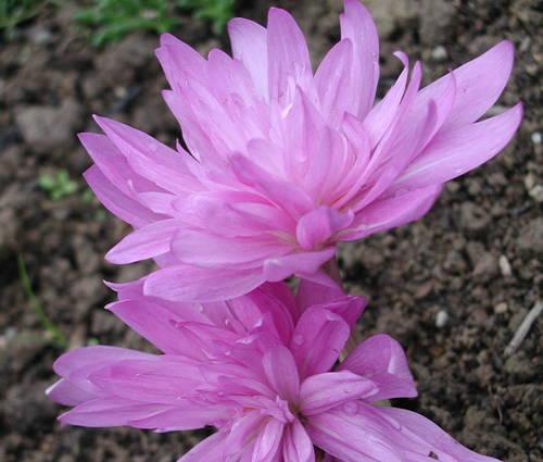 Produktbild Colchicum speciosum 'Waterlily' - Herbst-Zeitlose