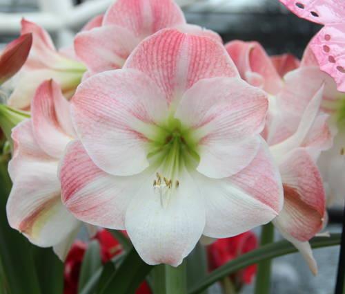 Produktbild Hippeastrum 'Apple Blossom' - Amaryllis, Ritterstern