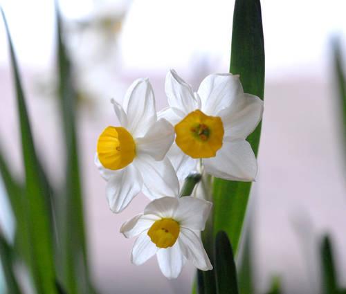 Produktbild Narcissus tazetta 'Chinese Sacred Lily' - Tazetten-Narzisse zum Treiben