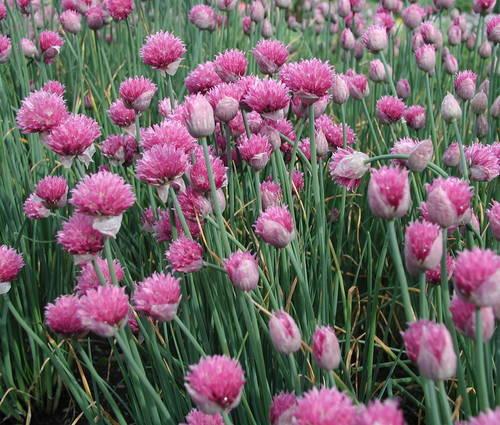 Produktbild Allium schoenoprasum 'Forescate' - Purpur-Schnittlauch