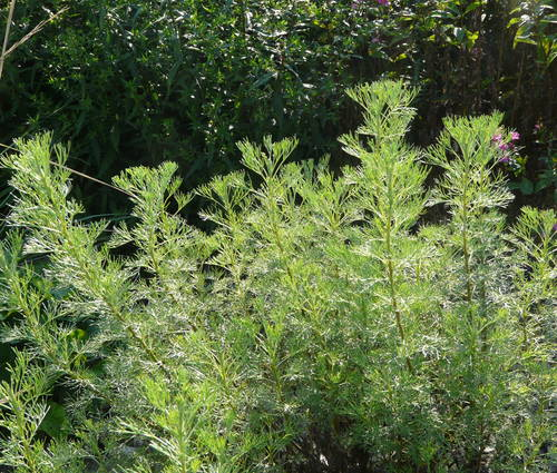 Produktbild Artemisia procera - Wohlriechende Eberraute, Spezi-Pflanze