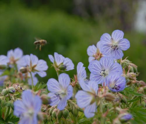 Produktbild Geranium pratense 'Mrs Kendall Clark' - Wiesen-Storchschnabel