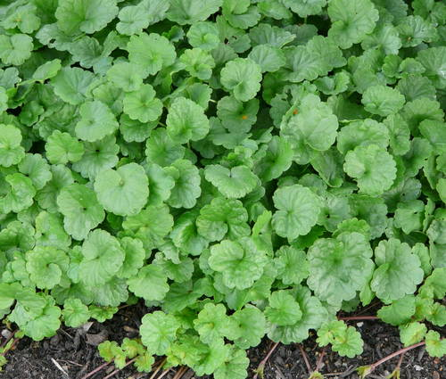 Produktbild Glechoma hederacea - Gundermann, Gundelrebe