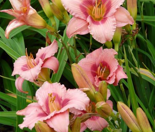 Produktbild Hemerocallis Hybride 'Sweet Tanja' - Taglilie (kleinblumig)