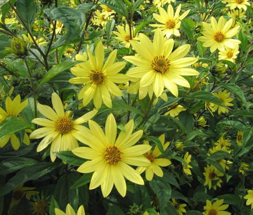 Produktbild Helianthus Microcephalus-Hybride 'Lemon Queen' - Stauden-Sonnenblume