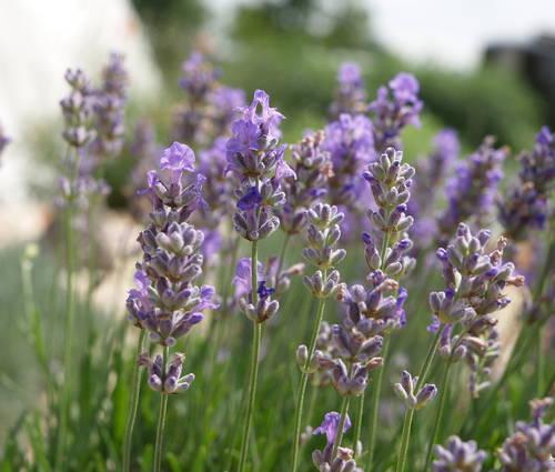 Produktbild Lavandula angustifolia 'Blue Cushion' - Garten-Lavendel