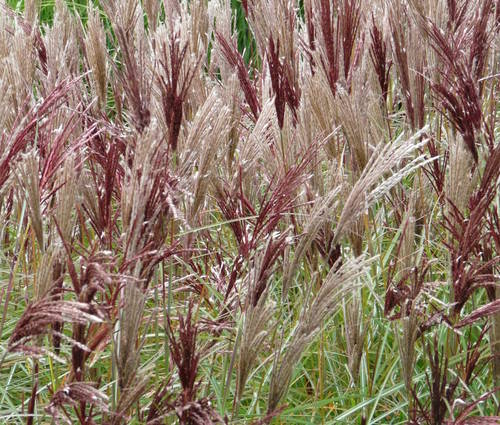 Produktbild Miscanthus sinensis 'Red Chief' - Halbhohes Chinaschilf