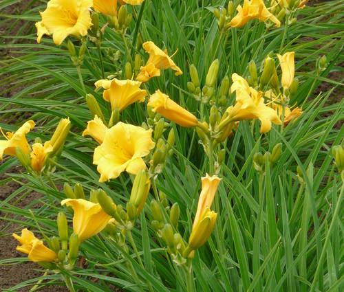 Produktbild Hemerocallis Hybride 'Stella de Oro' - Taglilie (kleinblumig)