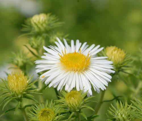Produktbild Aster novae-angliae 'Herbstschnee' - Raublatt-Aster