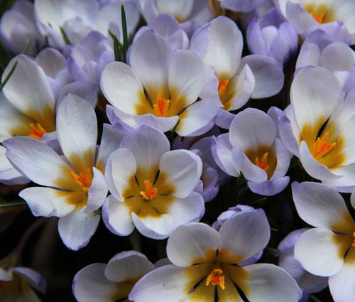 Produktbild Crocus chrysanthus 'Blue Pearl' - Balkan-Krokus