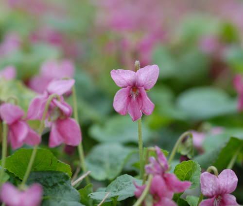 Produktbild Viola odorata 'Coeur d'Alsace' - Rotes Duft-Veilchen