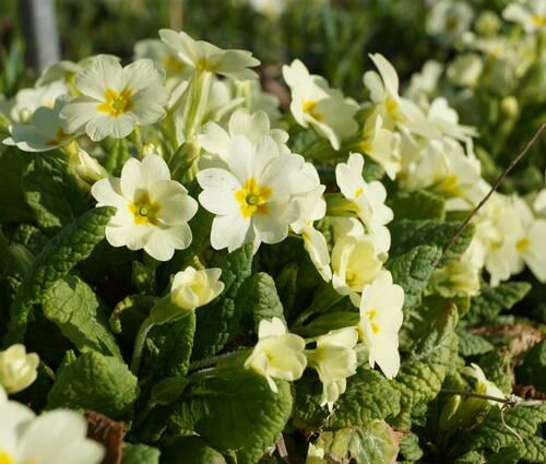 Produktbild Primula vulgaris - Kissen-Primel