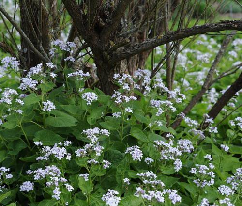 Produktbild Lunaria rediviva - Ausdauerndes Silberblatt, Mondviole