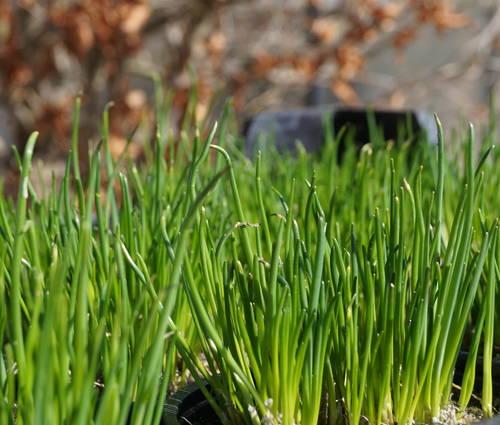 Produktbild Allium schoenoprasum - Schnittlauch