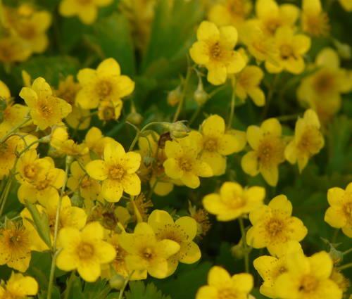 Produktbild Waldsteinia ternata - Teppich-Ungarwurz