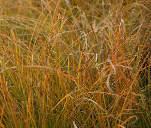 Produktbild Carex testacea - Orangefarbene Neuseeland-Segge