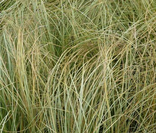 Produktbild Carex comans 'Frosted Curls' - Neuseeland-, Haar-, Schopf-Segge