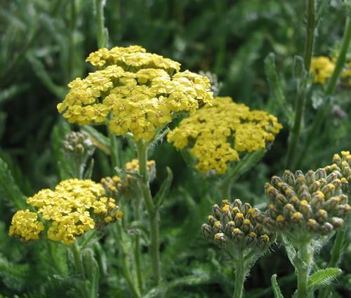 Produktbild Achillea tomentosa 'Aurea' - Teppich-Schafgarbe