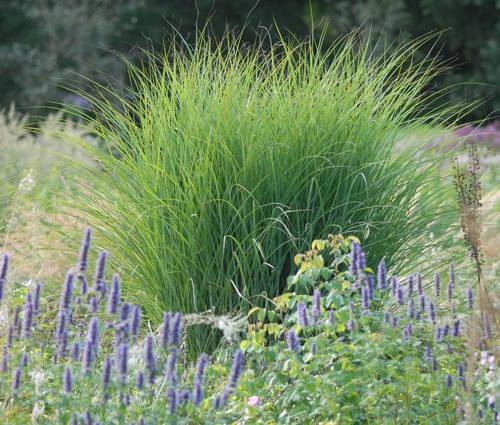 Produktbild Miscanthus sinensis 'Gracillimus' - Chinaschilf, Eulalia-Gras