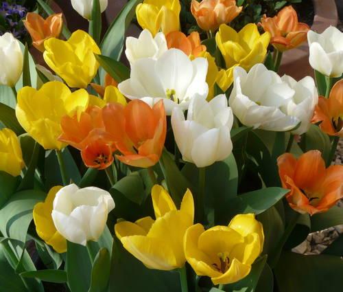 Produktbild Tulipa fosteriana 'Orange Emperor' - Fosteriana-Tulpe
