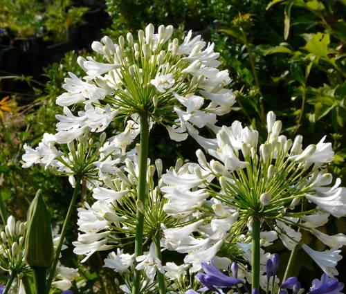 Produktbild Agapanthus Hybrid-Cultivar 'Albus' - Schmucklilie, Liebesblume