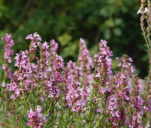 Produktbild Hyssopus officinalis 'Roseus' - Rosa Ysop