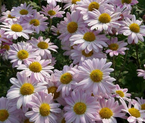 Produktbild Chrysanthemum Indicum-Hybride 'Hebe' - Herbst-Chrysantheme