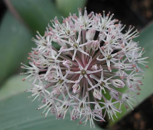 Produktbild Allium karataviense - Blauzungen-Lauch