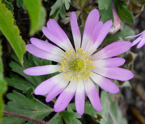 Produktbild Anemone blanda 'Charmer' - Rosa Frühlings-Anemone