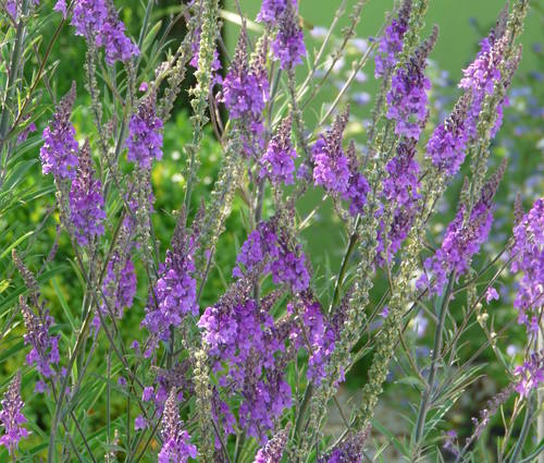 Produktbild Linaria purpurea - Purpur-Leinkraut