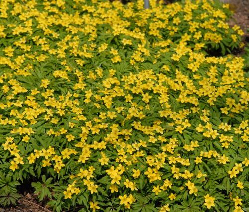Produktbild Anemone ranunculoides - Gelbes Windröschen