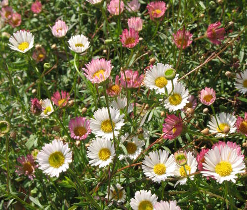 Produktbild Erigeron karvinskianus 'Blütenmeer' - Spanisches Gänseblümchen