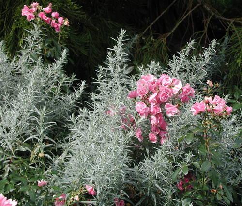 Produktbild Artemisia ludoviciana var. albula 'Silver Queen' - Silberraute