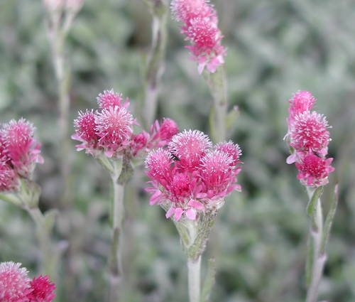 Produktbild Antennaria dioica 'Rotes Wunder' - Rotes Katzenpfötchen