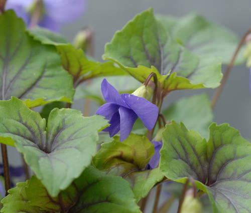 Produktbild Viola spec. 'Smoky Mountains' - Veilchen