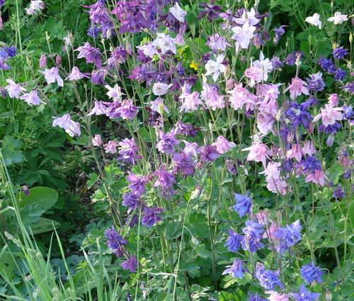 Produktbild Aquilegia vulgaris 'Grandmothers Garden' - Garten-Akelei
