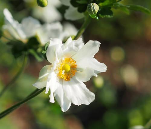 Produktbild Anemone Japonica-Hybride 'Whirlwind' - Herbst-Anemone