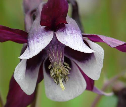 Produktbild Aquilegia vulgaris 'William Guiness' - Purpur-Akelei