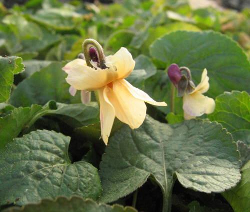 Produktbild Viola odorata 'Sulphurea' - Gelbes Duft-Veilchen