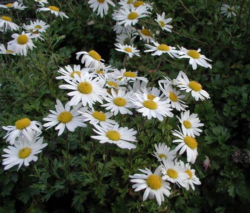 Produktbild Arctanthemum arcticum - Grönland-Margerite