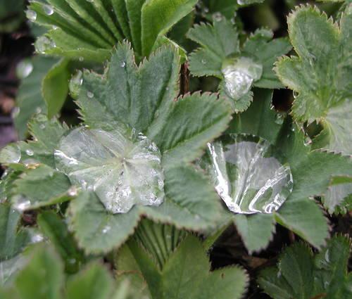 Produktbild Alchemilla xanthochlora - Gewöhnlicher Frauenmantel