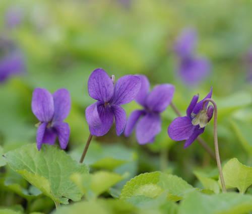 Produktbild Viola odorata 'Baronne Alice de Rothschild' - Duft-Veilchen