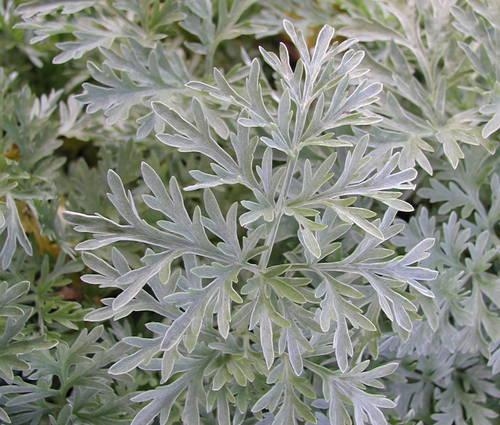 Produktbild Artemisia absinthium - Echter Wermut